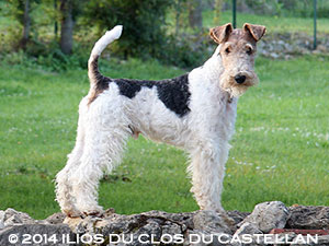 Mâle Fox-terrier
