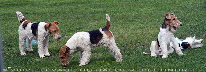 Mes chiens Fox-Terriers