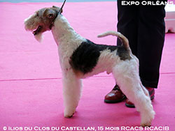 Ilios, fox-terrier Mâle