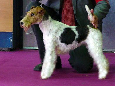 Fair Lady fox terrier femelle