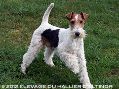 bluma fox terrier