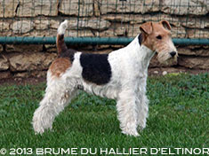 Brume fox terrier