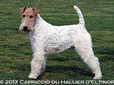 Capriccio fox terrier