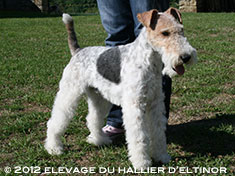 Crunch fox terrier