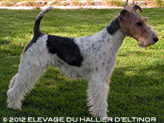 Era fox terrier