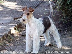 Foxelle fox terrier
