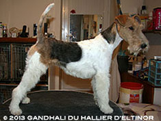 Gandhali fox terrier