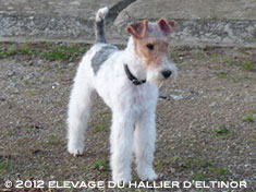 Garry fox terrier