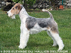 Goliath fox terrier