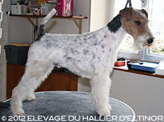 Gwennki fox terrier