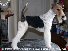 First Lady fox terrier