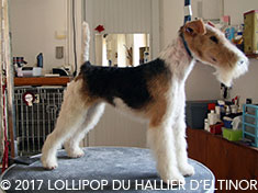 Lollipop fox terrier