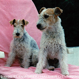 EltonIndia, fox terriers