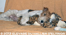 willynilly fox-terrier