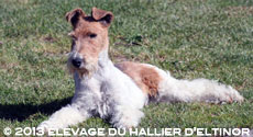 fox terrier Willy-Nilly