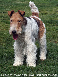 Willy fox terrier