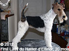 Lady, fox terrier femelle