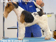 Fox-terrier Blackdale Triumph