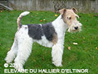 Elton, fox terrier mâle